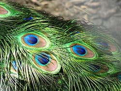 Peacock_feathers_closeup
