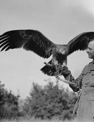 British Officer with pet golden eagle found newly hatched and reared.